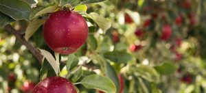 Did you know that apples produce their own wax?